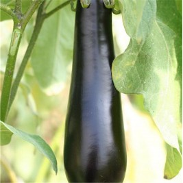 Aubergine de Barbentane Organic seeds of madness