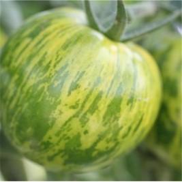 Organic seeds tomato green zebra
