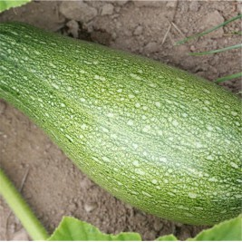 Zucchini Bio Whitethroat de provence seeds of madness