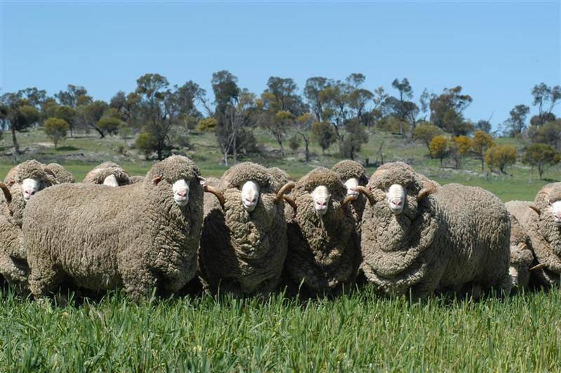 Moutons laine mérinos